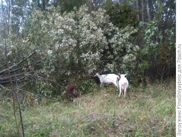 Спиленная ракита и жующие козы