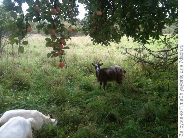 Под яблонями