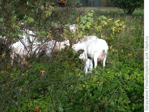 Кленовые листья для коз очень важны, козы- гурманы