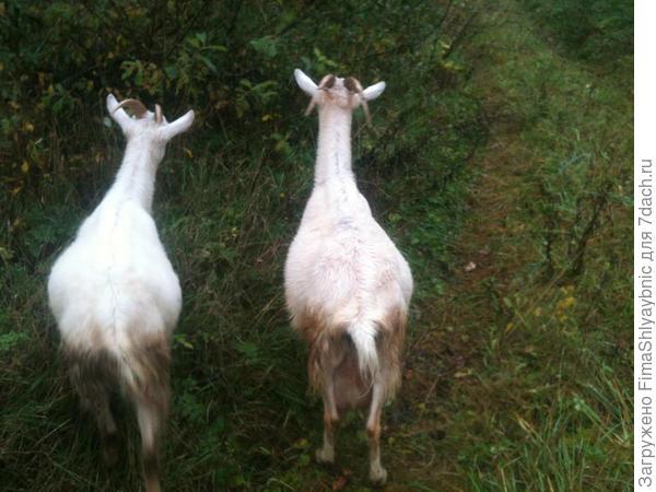 Две дойные козы