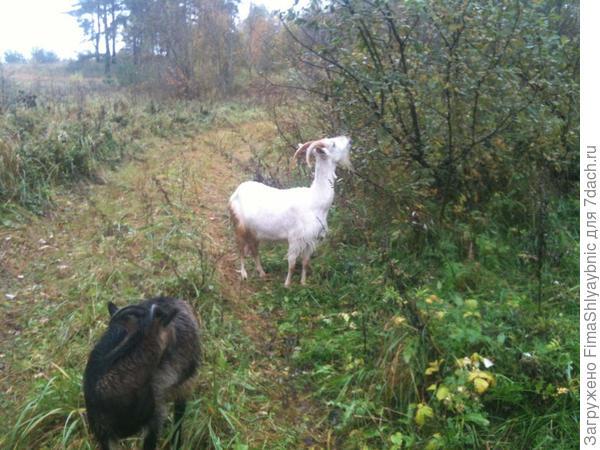 Зая плетется позади стада