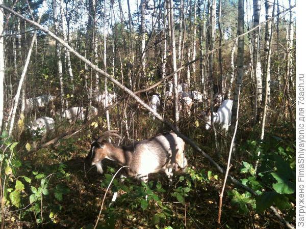 Возле леса с козами на прогулке