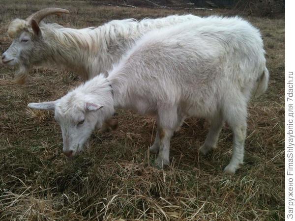 Действительно недоброе выражение морды козы Фени