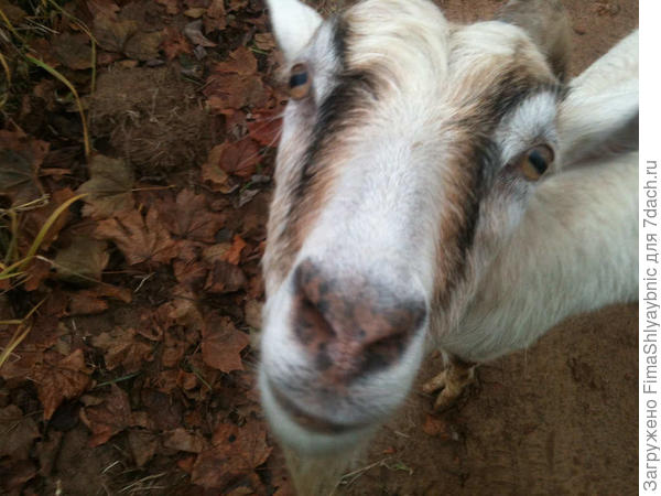 Молочная коза Белка