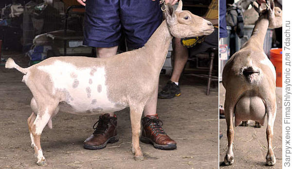 Коза породы Нигерийский карлик. Фото с сайта http://dragonfly.jmkarohl.com/