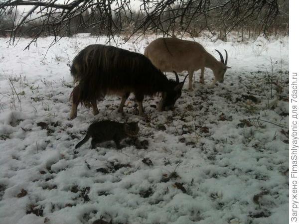 Выставка коз в деревне Вярьмово