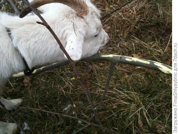 Маруся обгрызает ветку осины