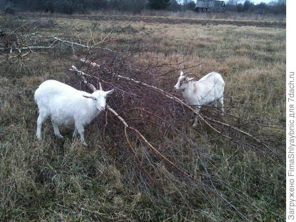 Береза и козы