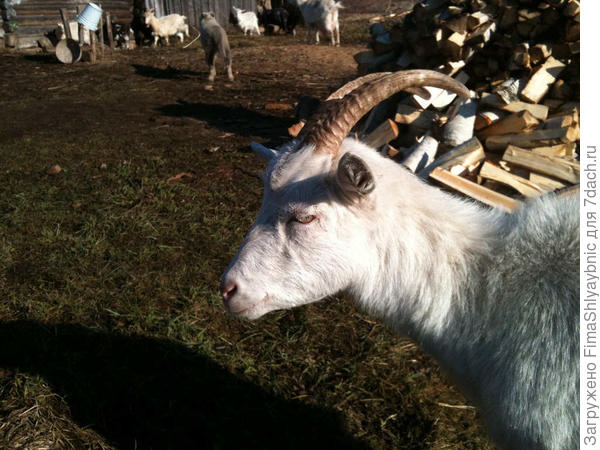 Рога очень удобные, за них можно держать козу или тащить ее в хлев