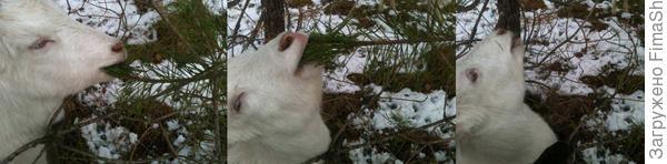 Как откусывают ветку сосенки