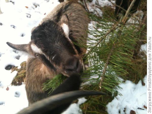 Зима, коза и сосенка