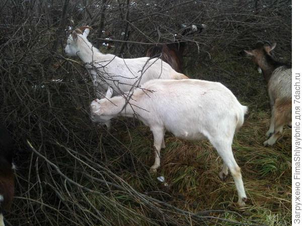 Вот эта ближняя мелочь -Фея, испорченная зааненская коза