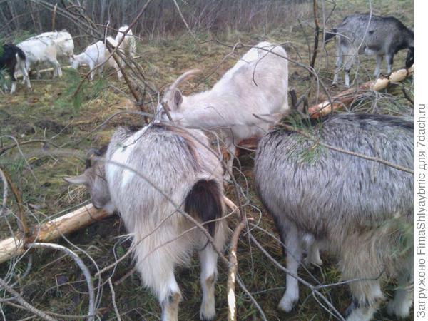 Приятно пахнущие козы