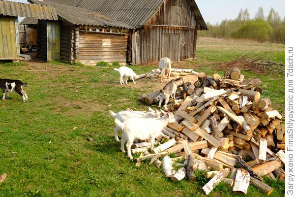 Козы и дрова