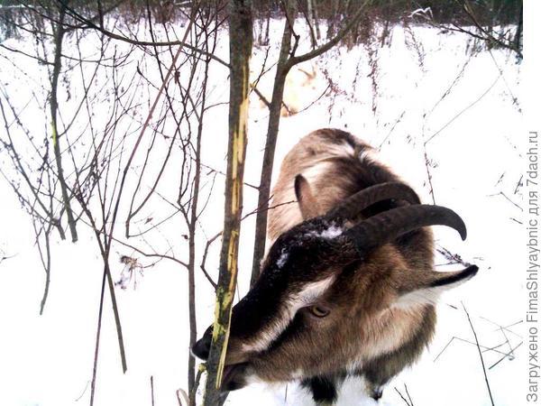 Дерево и коза зимой
