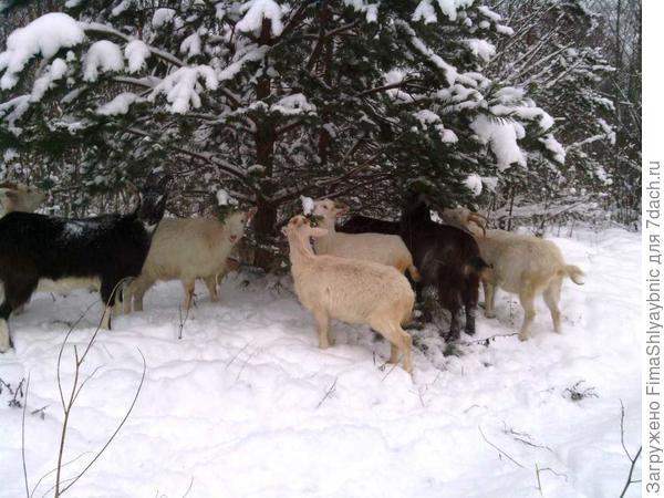 Сосенка и козы
