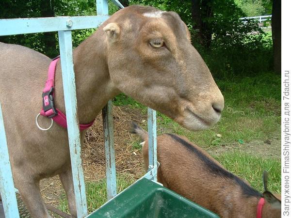 Коза породы Ламанча. Фото с сайта panoramio.com