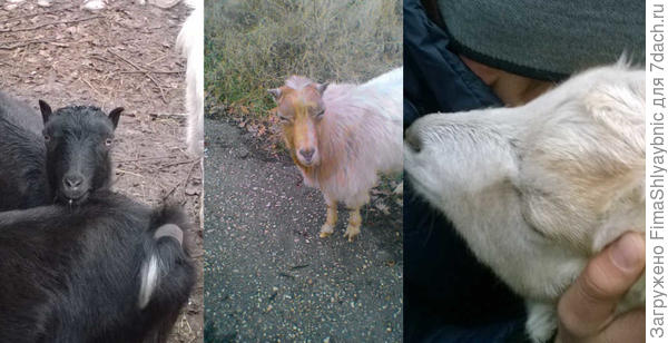 Козы и козел Ламанча в хозяйстве Инны Черепановой