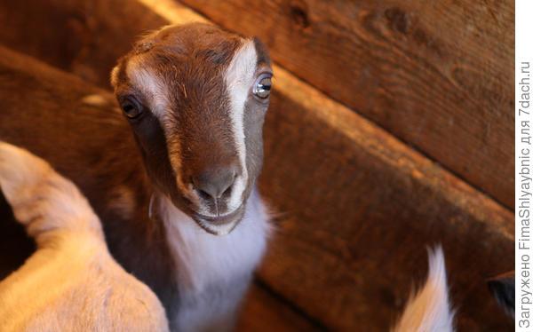 Типичные уши ламанчей. Фото с сайта goatshowdoc.files.wordpress.com