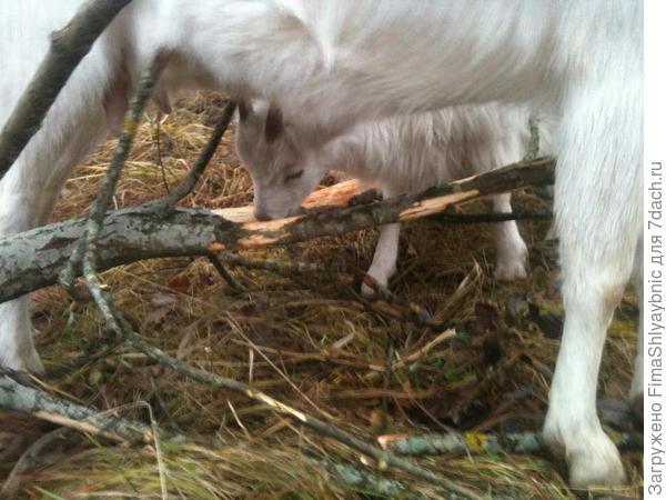Обычные козы в деревне Вярьмово
