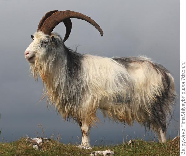 Британский обычный козел. Фото из Flikr