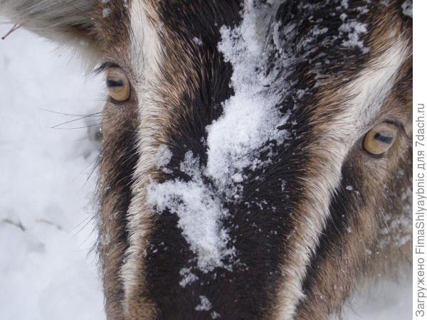 Коза Фляга - ландрас северо-запада России