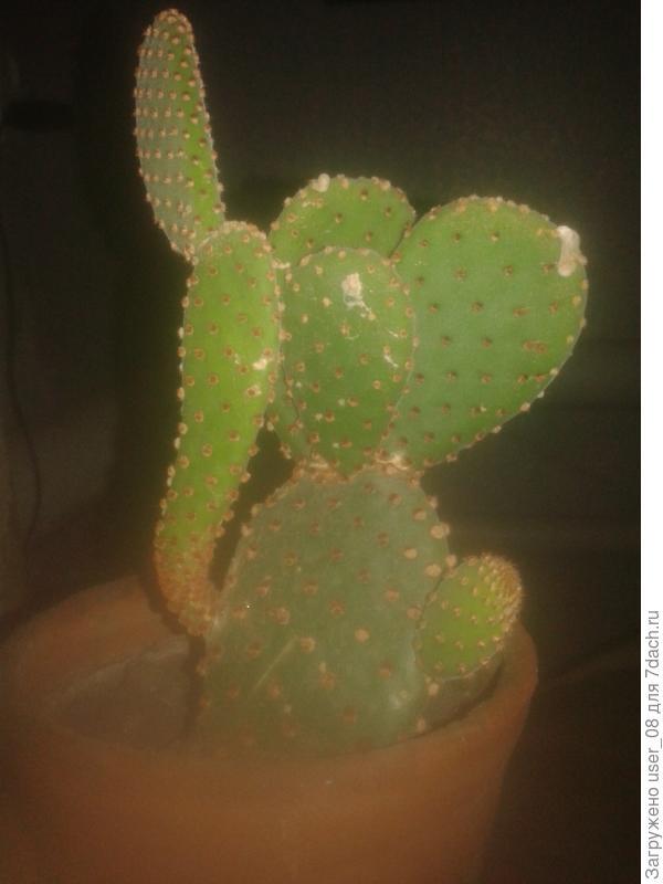 А этот кактус вредный.  У него ключки мелкие.  Подойдёшь поливать рукой только к гаршку прикоснёшься и всё.......   потом рука как будто стеклавату трогала
