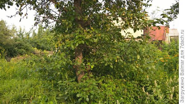 От яблони справа первая груша