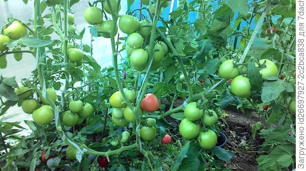 Можно ли помидоры сажать вместе с перцами 834