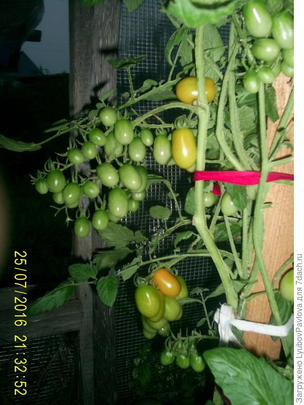 Комнатный сюрприз томат выращивание 65