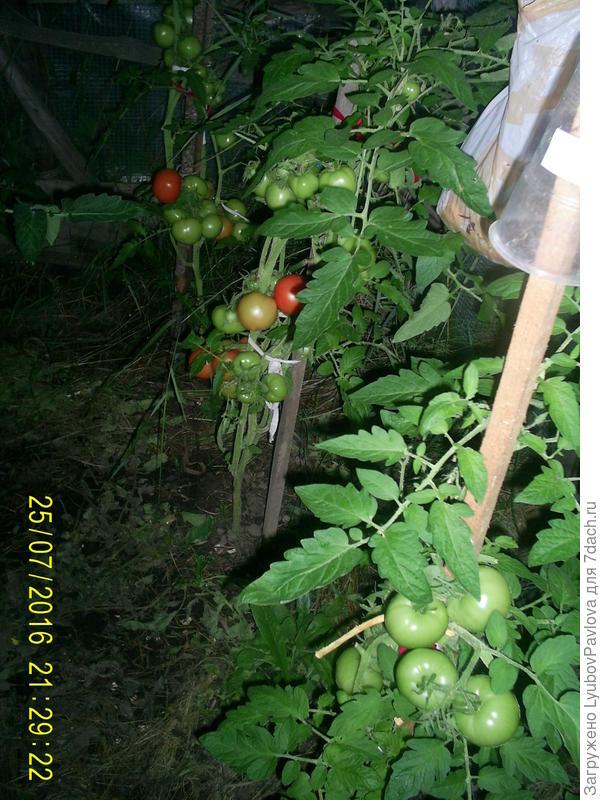 Комнатный сюрприз томат выращивание 67