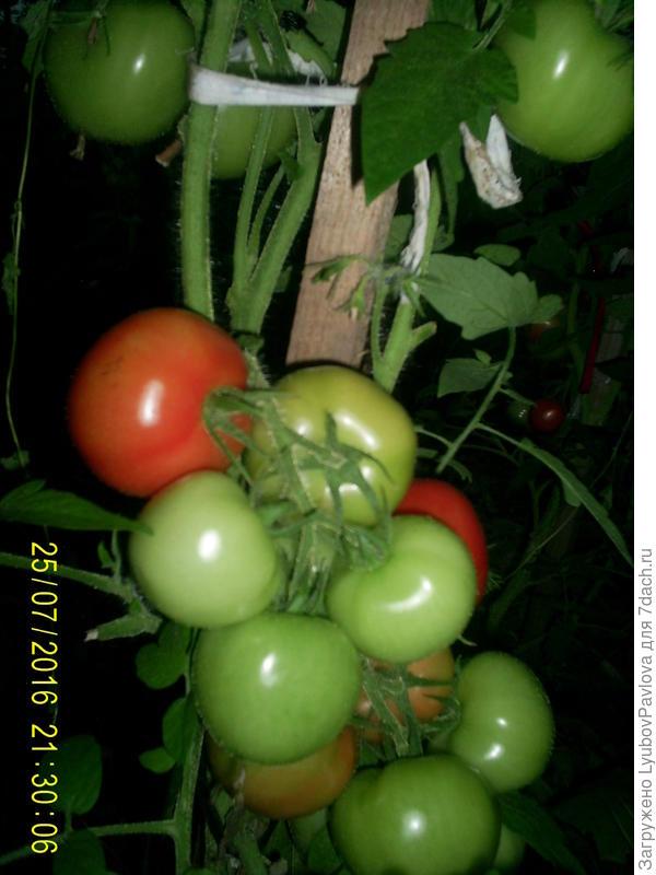 Комнатный сюрприз томат выращивание 99