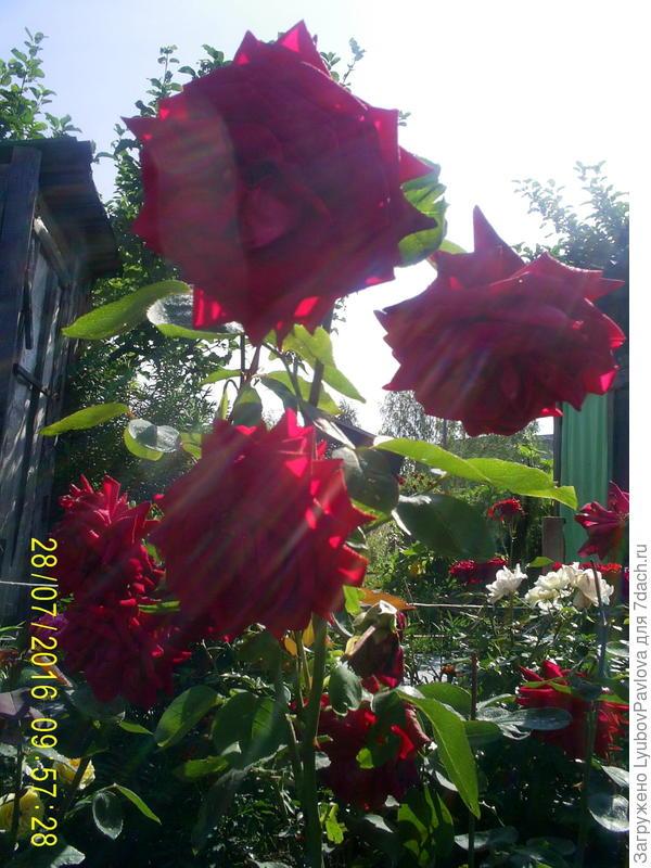 солнечные стрелы на розах