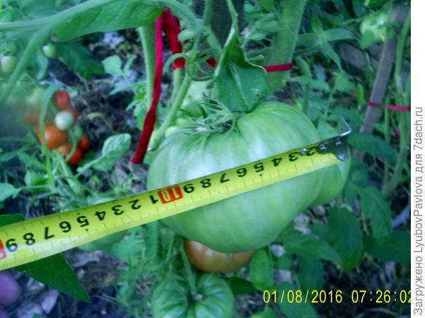 диаметр помидора