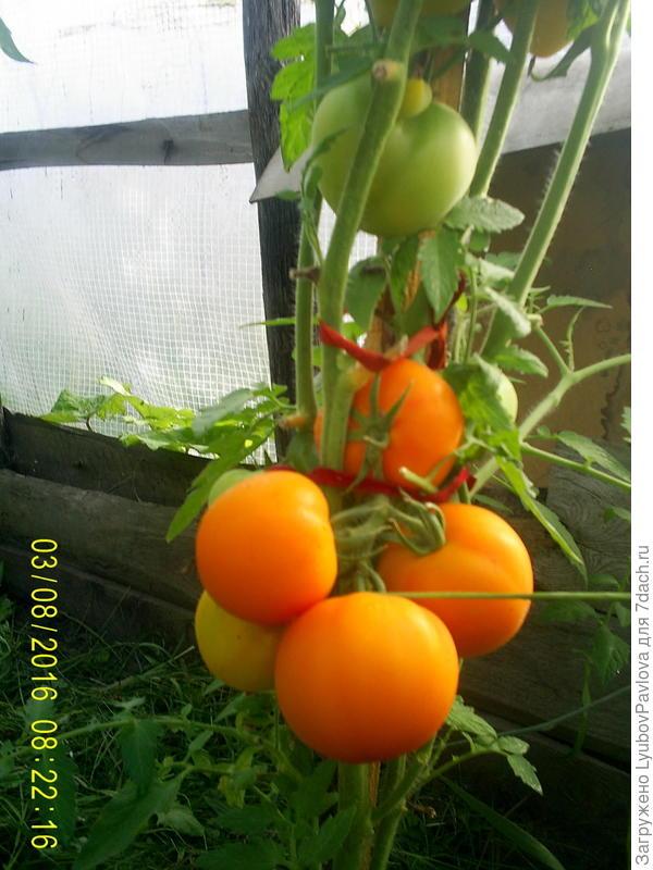 похож на томат