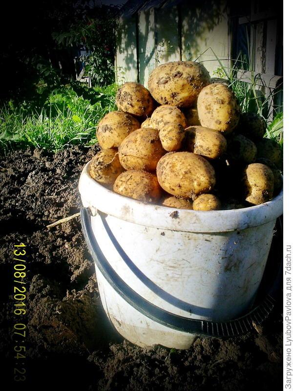 с 3 м2 ведро картофеля