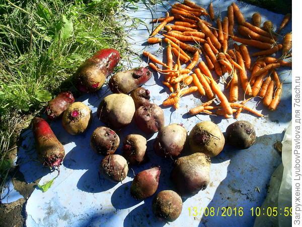 свекла с морковкой