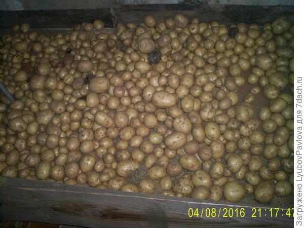 картофель Гала, ранний