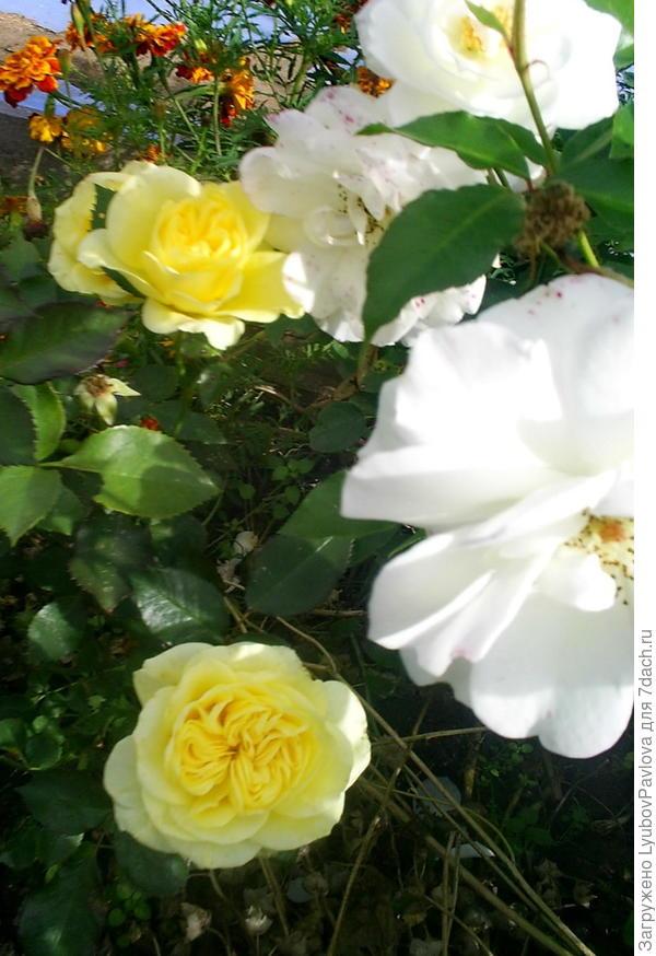 Желтая Роза Голдбит (флорибунда).