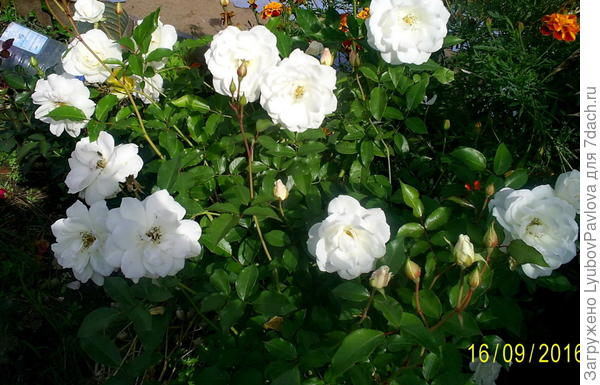 Роза Хельга (чайно-гибридная)
