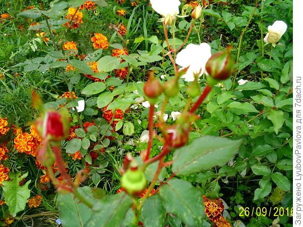 Бутоны роз флорибунда