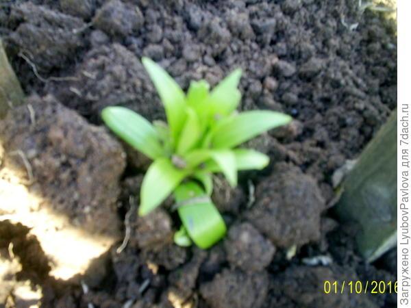 Пошла в рост детка хризантемы