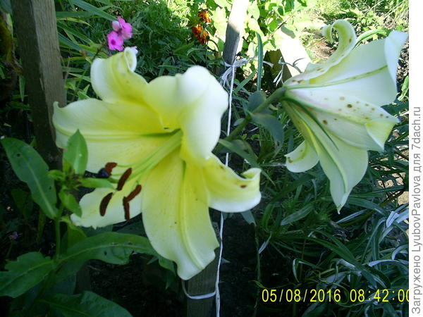 Лилия ОТ- гибрид Конка Д'Ор (Conca d'or). Первый раз цветёт в этом году. (сорт сравнивала по интернету)