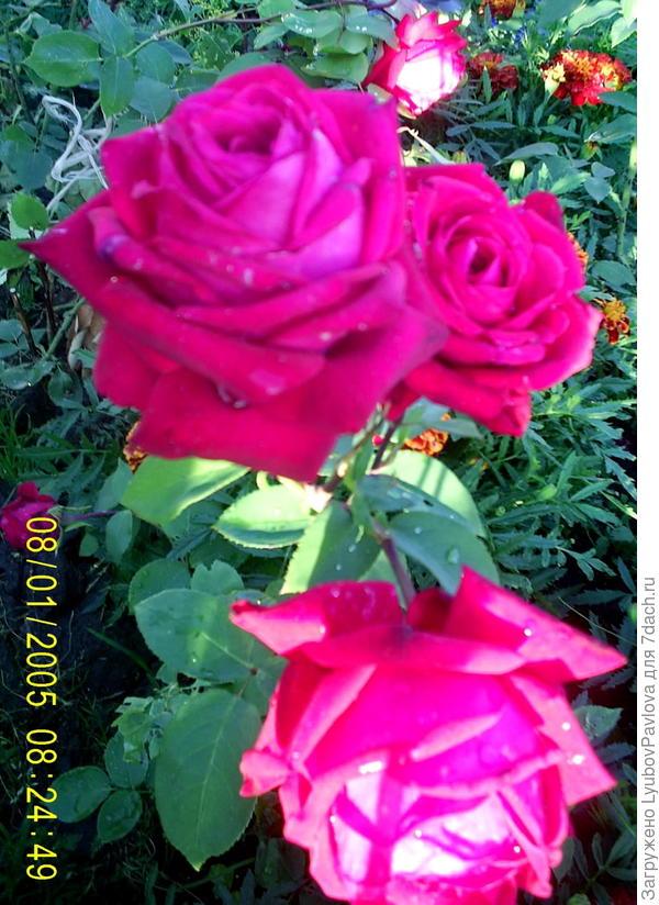 Название розы не знаю.