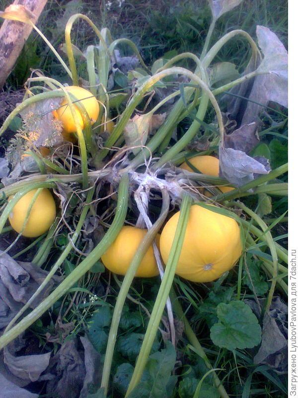 Тыква декоративная Апельсинка