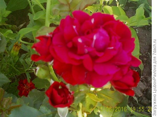 Роза Май Плежа (флорибунда)