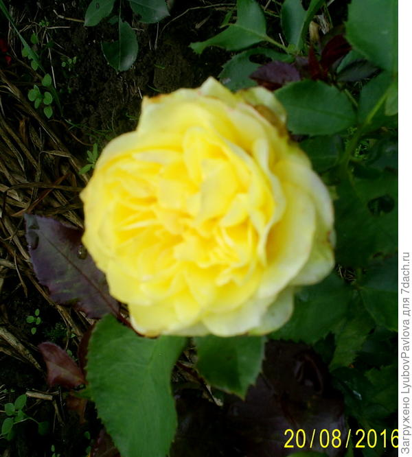 Роза Голдбит (флорибунда)