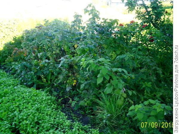 Малина и чёрная рябина - живая изгородь с другой стороны моего участка)))