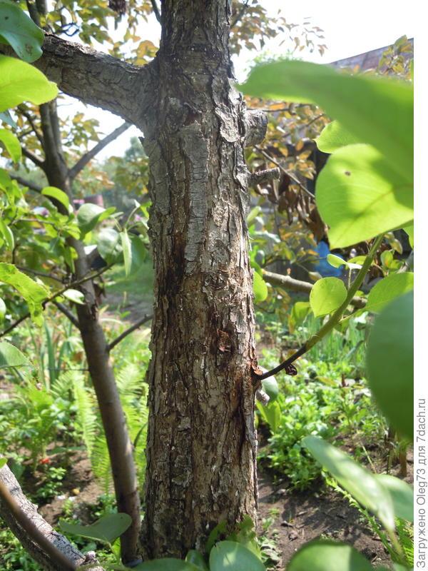 Вянут даже основания побегов дерево 1