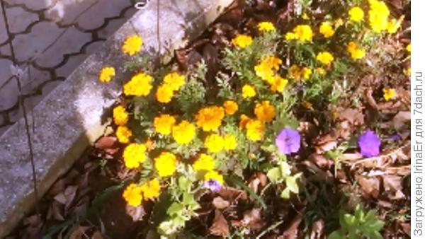 Бархатцы цветут до мороза